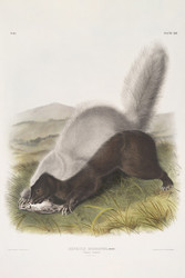 Mephitis Mesoleuca Texan Skunk By John Audubon