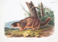 Arctomys Flaviventer By John Audubon