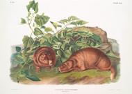 Arctomys Lewisii  By John Audubon