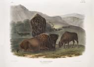 Bos Americanus American Bison By John Audubon