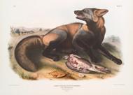 Canis Vulpes Fulvus By John Audubon