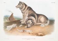 Canis Familiaris Esquimaux By John Audubon