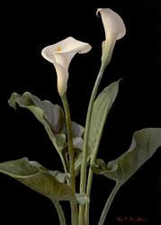 Calla Lilies  By George Cochran Lambdin Floral Print