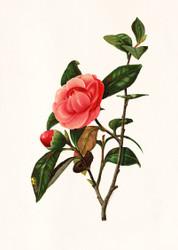 Camellia  By L Prang Co Floral Print