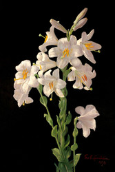 Easter Lily By George Cochran Lambdin Floral Print