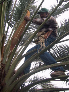 How to tell sex of a date palm