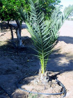 date-tree-5.jpg