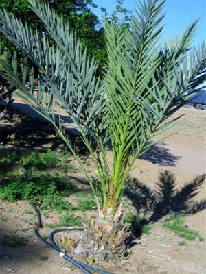 date-tree-7.jpg