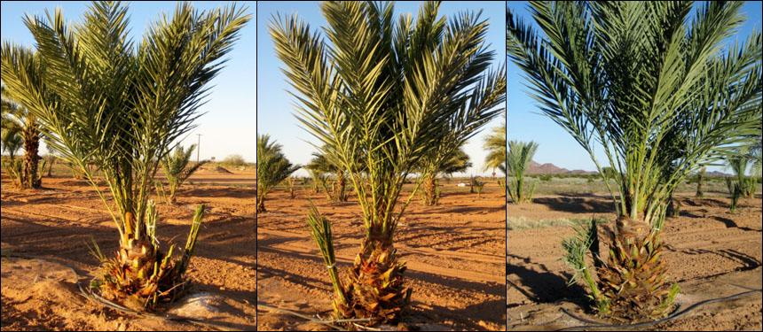 date-trees.jpg