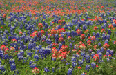 Red, White and Bluebonnets