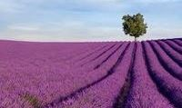 fragrant field of lilacs