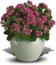 Bountiful Kalanchoe