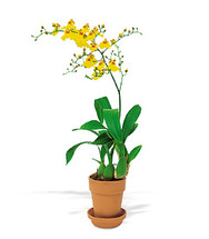 Oncidium Orchid for Portland, OR Delivery