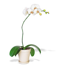 Large White Phalaenopsis Orchid Plant