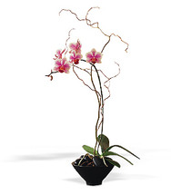 Small Phalaenopsis Orchid in Small Bowl