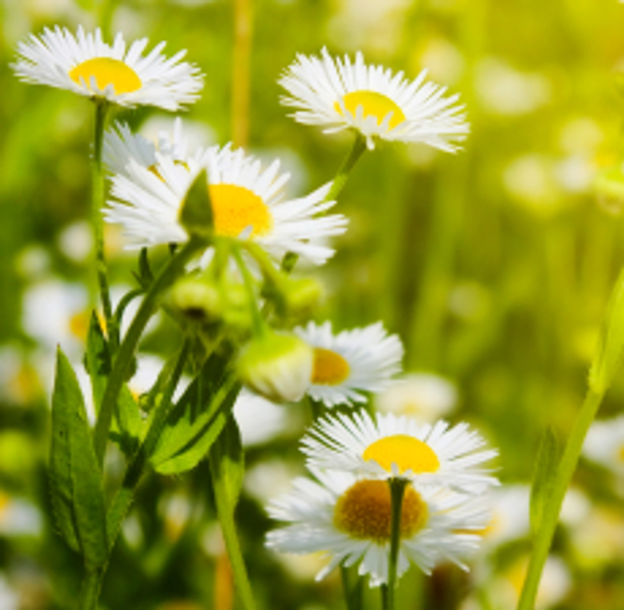 Chamomile Roman (3% Dilution) | ESSENTIAL OIL