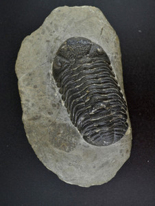 Trilobite #2 from Morocco