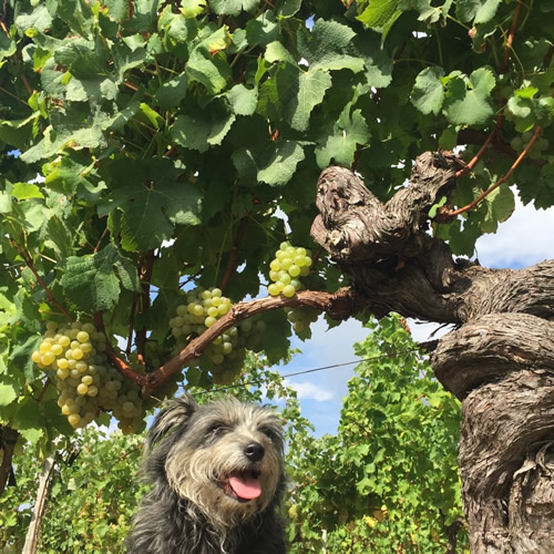 Margaux and an old vine