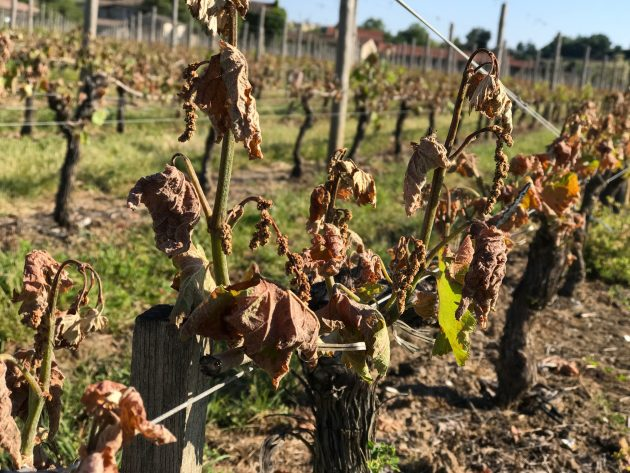 The ghastly frost damage in Bordeaux