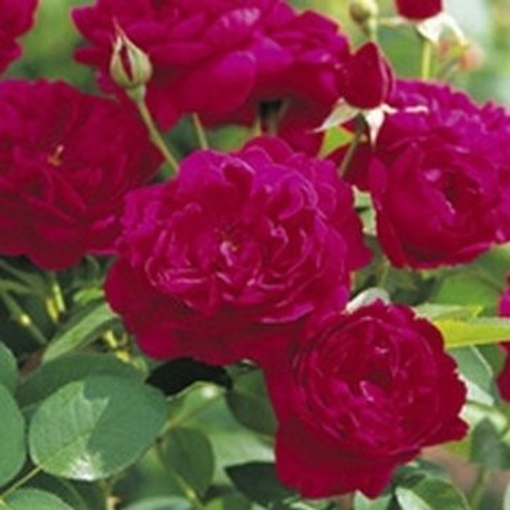 David Austin English Tree Rose: Darcey Bussell