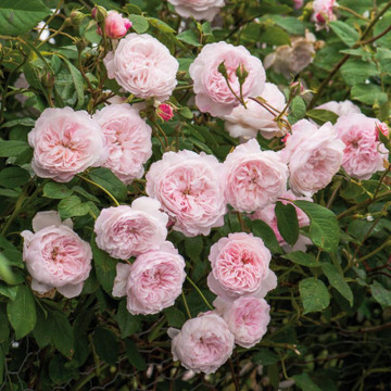 The Albrighton Rambler - David Austin English Roses