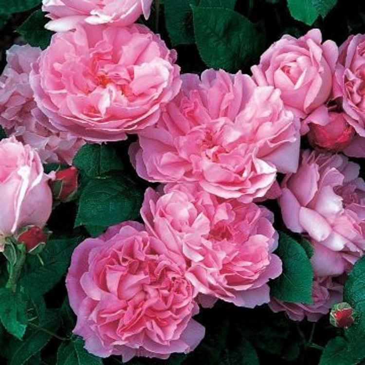 Mary Rose - David Austin English Roses