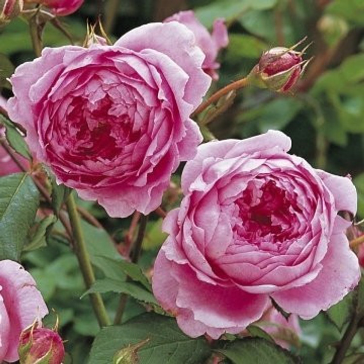 Huntington Rose - David Austin English Roses