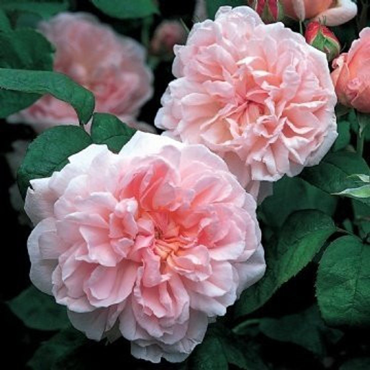 Eglantyne - David Austin English Roses