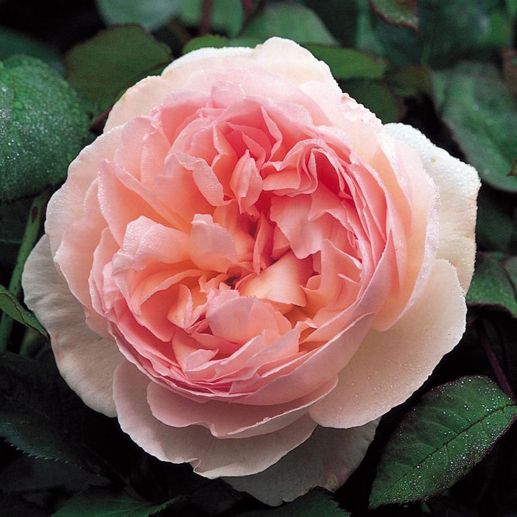 Sharifa Asma David Austin English Rose
