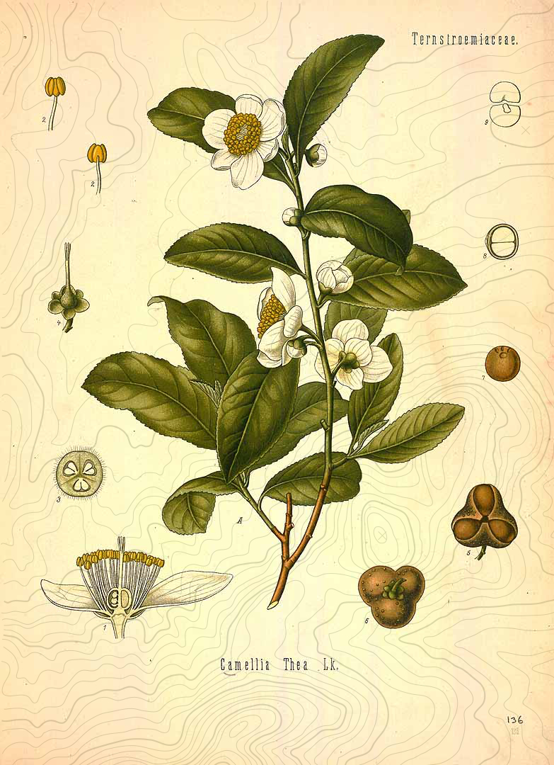 botanical-camellia-sinensis-pollen.jpg