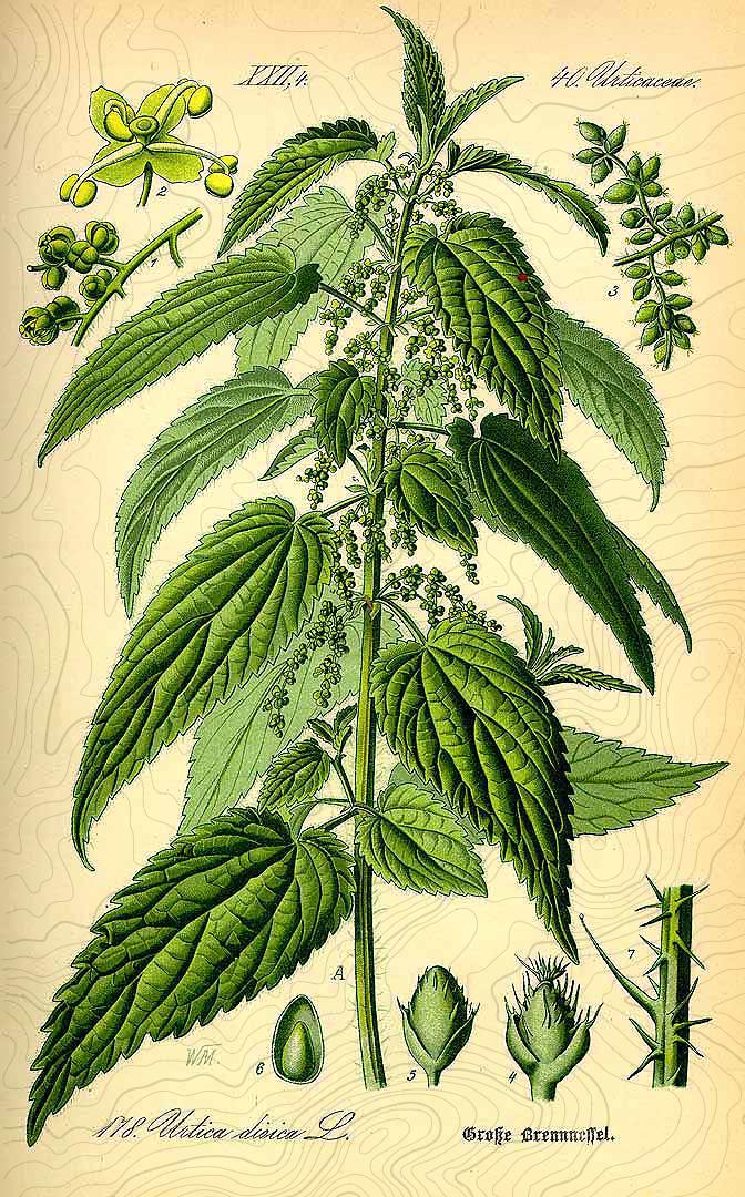 botanical urtica dioica