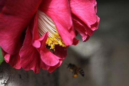 camellia-sinensis-pollen-flower.jpg