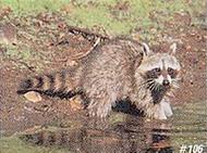 Delta #106 Raccoon Target