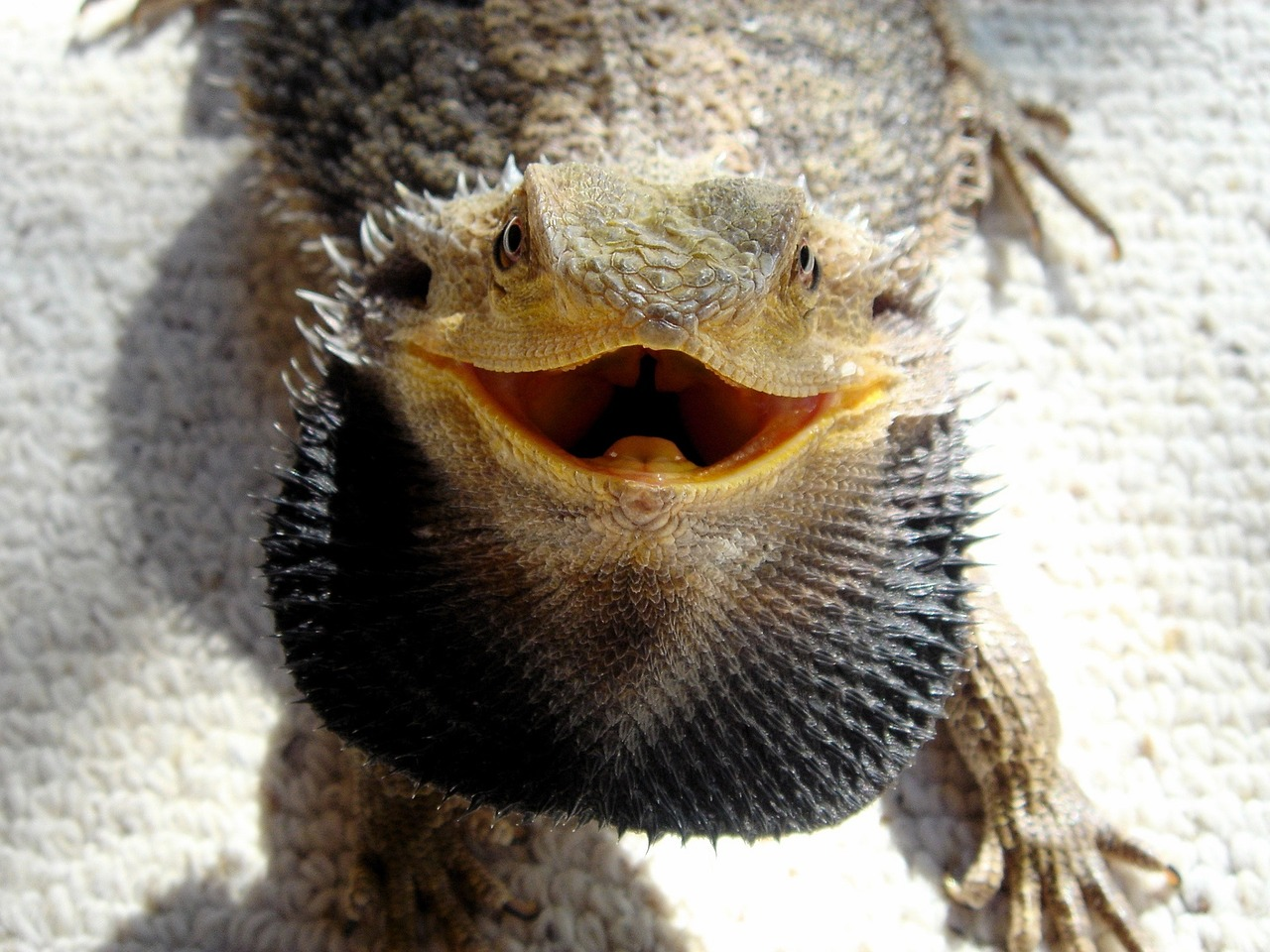 Photo of bearded dragon with open mouth