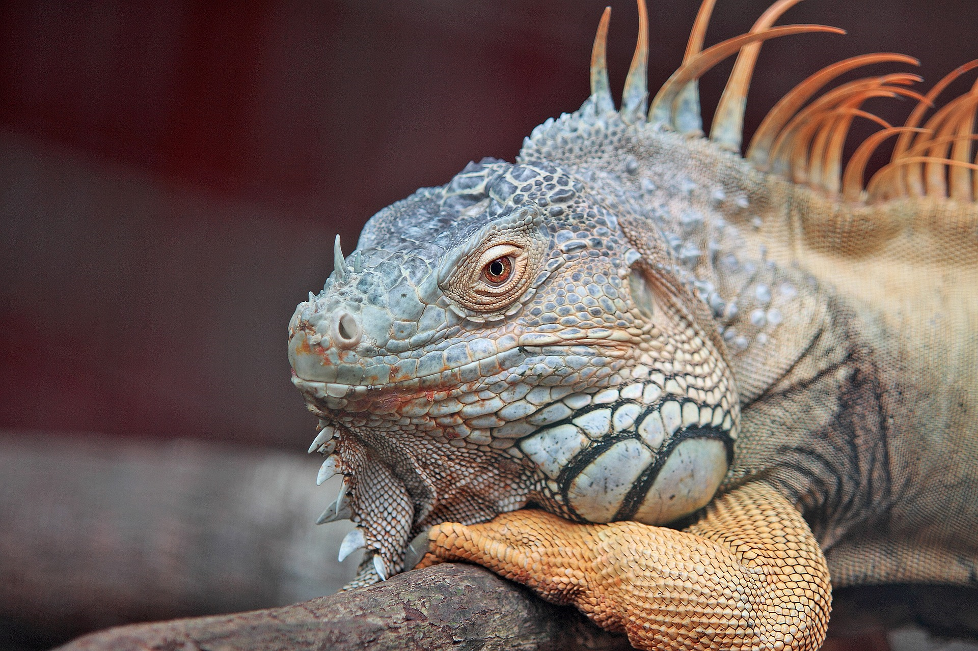 Photo of lounging iguana & Can My Reptile Give Me a Disease? - The Tye-Dyed Iguana u0026 Indoor ... azcodes.com