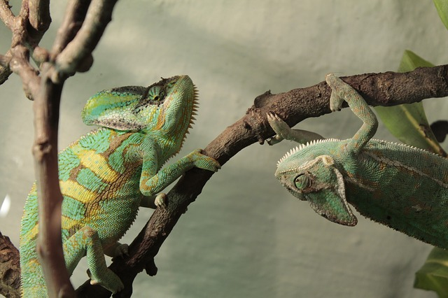 Photo of two chameloens on the same branch