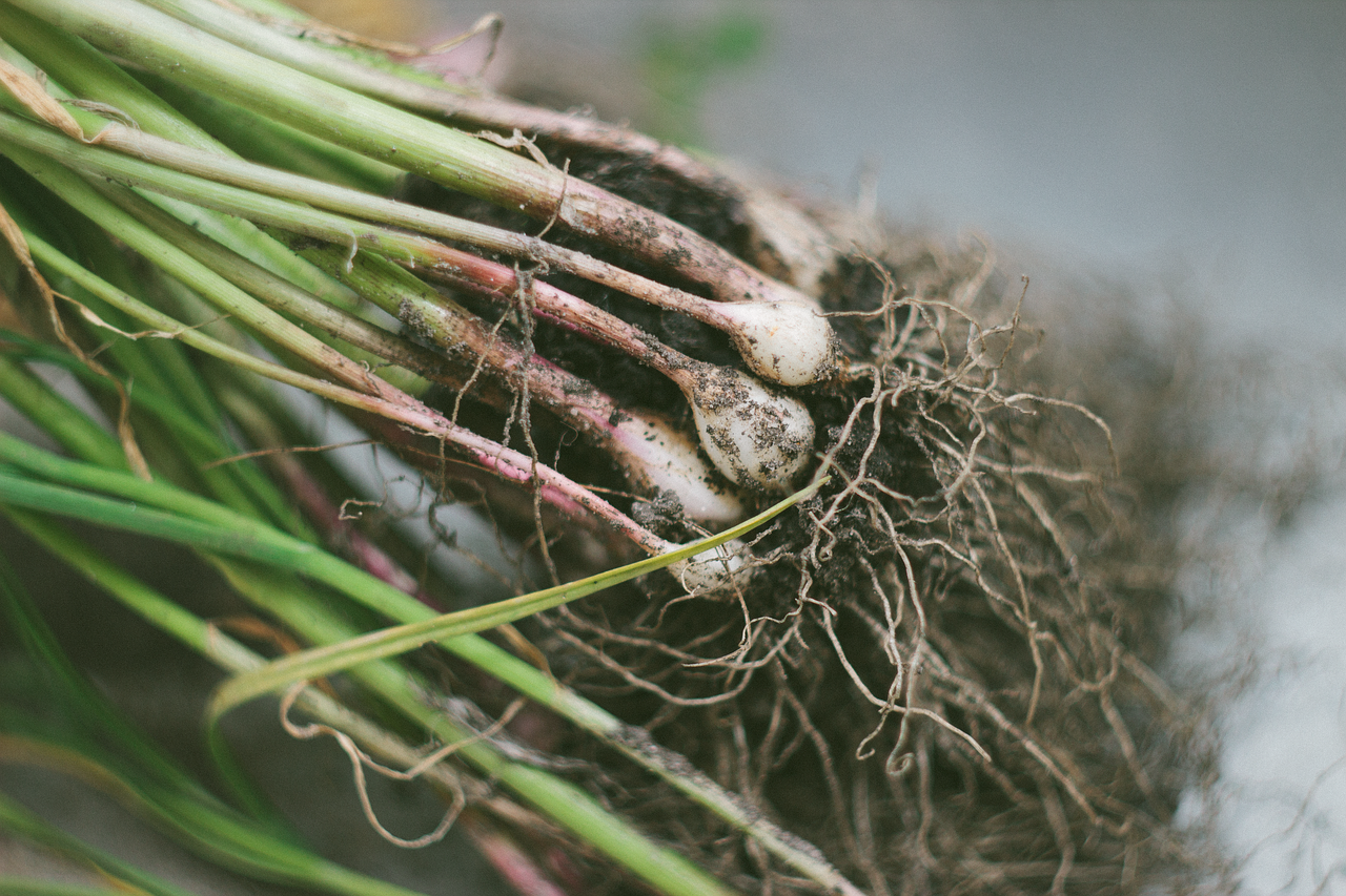 Photo of garlic plant roots