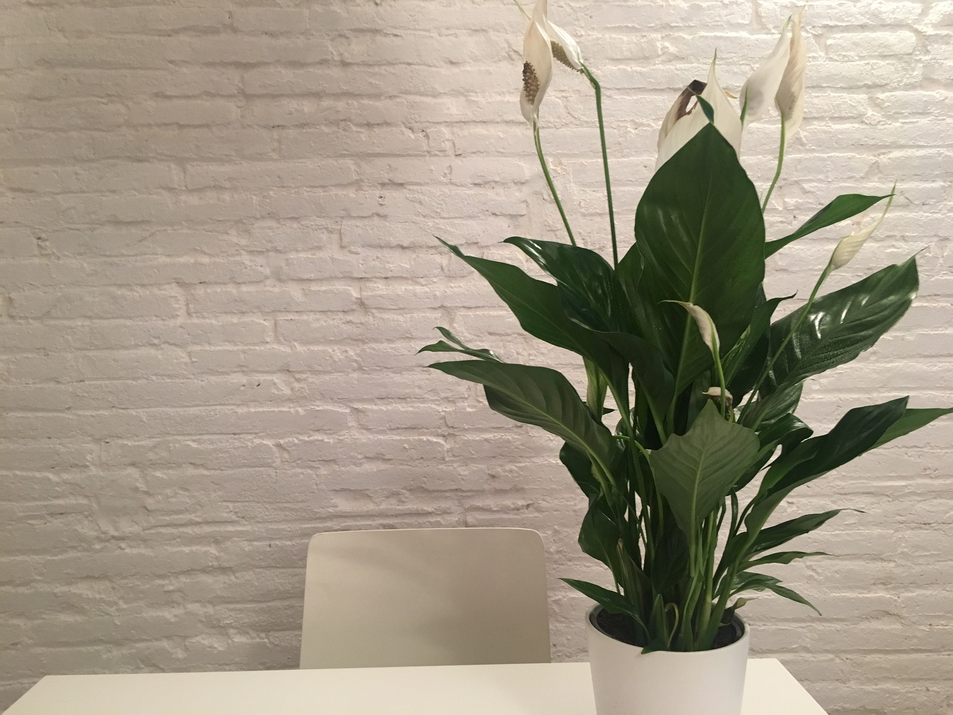 Photo of peace lily on a white desk