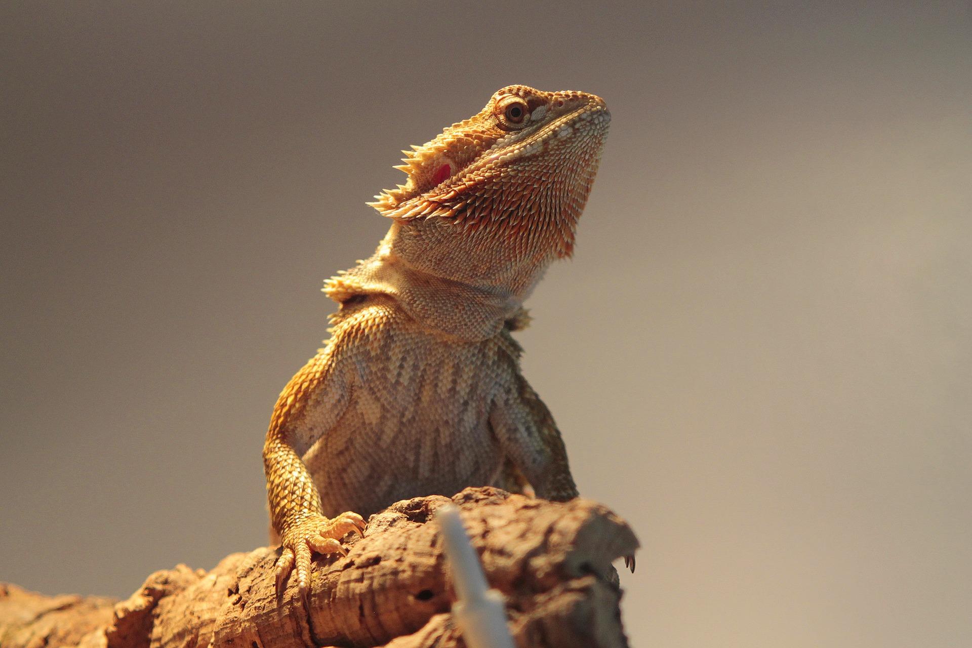 Photo of bearded dragon on log