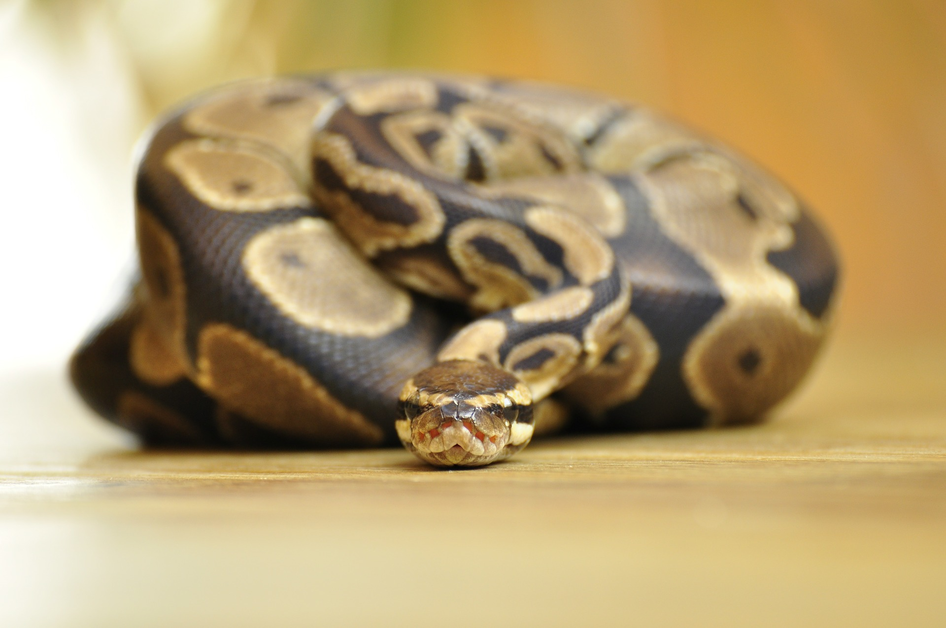 Photo of ball python in coil