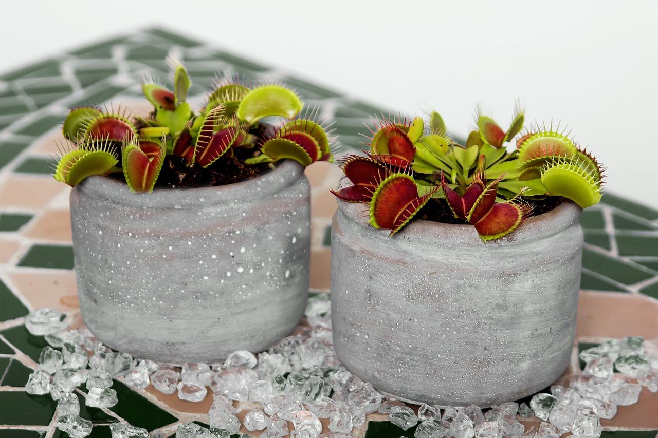 Photo of potted Venus flytraps