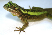 Green Striped Dragon - Japalura Splendida