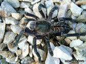 Asian Black Birdeater Tarantula - Haplopelma longipes