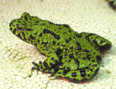 Fire Belly Toad - Bombina orientalis