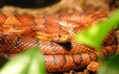 Corn Snake (Mixed Colors) Adult - Elaphe guttata guttata