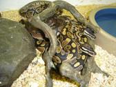 Ball Python (Sub-Adult) - Python regius