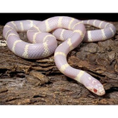 Albino California Kingsnake - Lampropeltis getula californiae