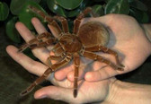 Goliath Birdeater Tarantula (Medium) - Theraphosa blondi