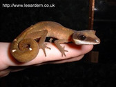 Malaysian Cat Gecko - Aeluroscalabotes felinus