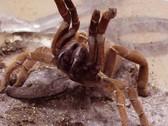 King Baboon Tarantula (Sling) - Citharisischius crawshayi